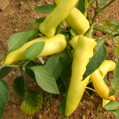 Grow Your Own - Chilli Pepper Hungarian Hot Wax