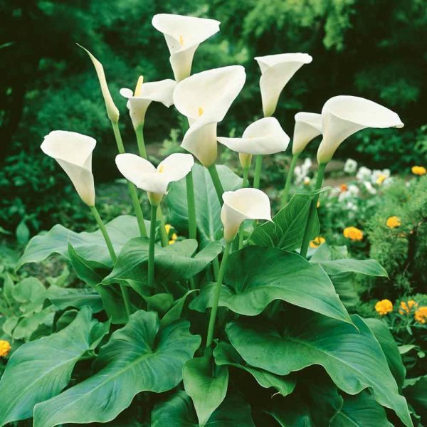 Hardy White Arum Lily - Small